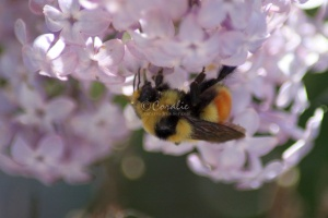 bumblebee on the lilac flowers 800