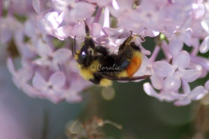 bumblebee on the lilac flowers 805