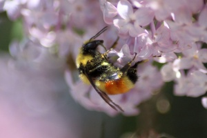 bumblebee on the lilac flowers 818
