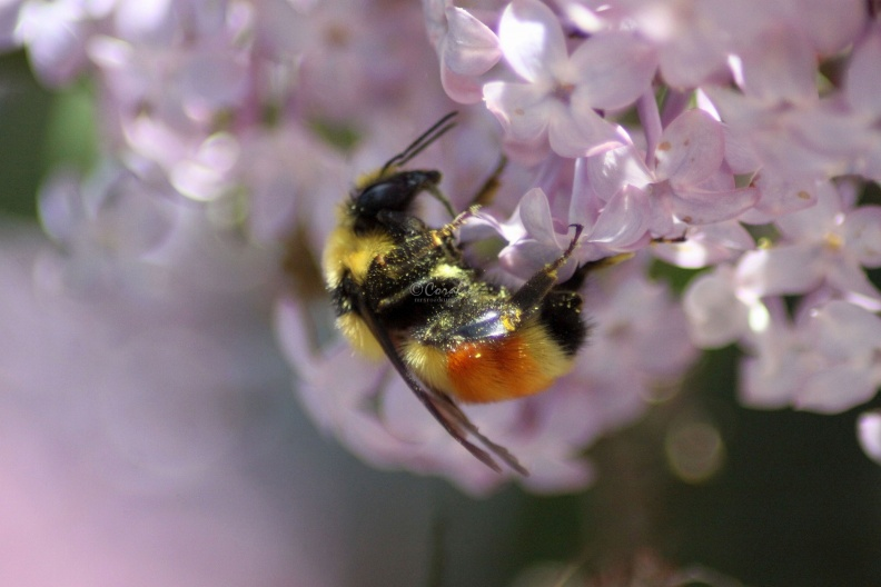 bumblebee_on_the_lilac_flowers_818.jpg