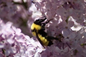 bumblebee on the lilac flowers 865