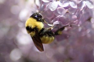 bumblebee on the lilac flowers 883