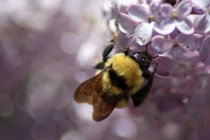 bumblebee on the lilac flowers 890