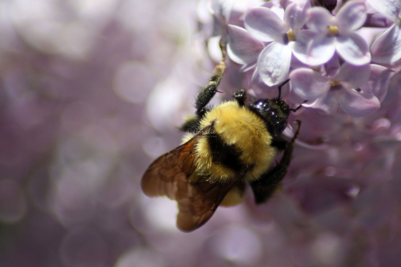 bumblebee_on_the_lilac_flowers_890.jpg