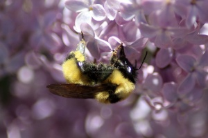 bumblebee on the lilac flowers 918