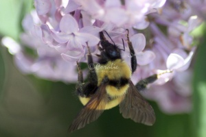 bumblebee on the lilac flowers 950