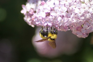 bumblebee on the lilac flowers 1000