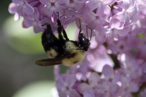 bumblebee on the lilac flowers 1081