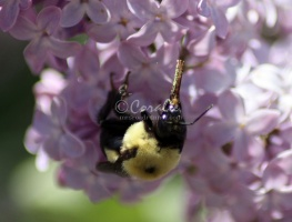 bumblebee on the lilac flowers 1095