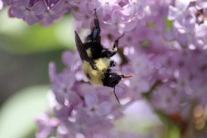bumblebee on the lilac flowers 1122