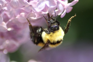 bumblebee on the lilac flowers 1147