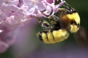 bumblebee on the lilac flowers 1152