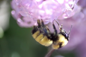 bumblebee on the lilac flowers 1204