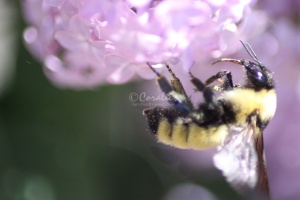 bumblebee on the lilac flowers 1205