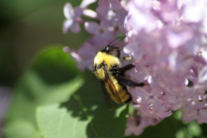 bumblebee on the lilac flowers 1240