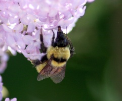 bumblebee on the lilac flowers 1271