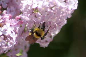 bumblebee on the lilac flowers 1281