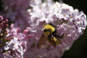 bumblebee on the lilac flowers 1356