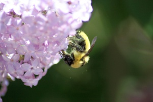 bumblebee on the lilac flowers 1383