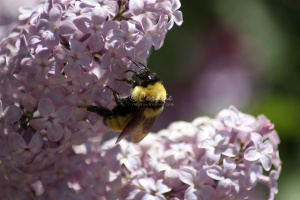 bumblebee on the lilac flowers 1395