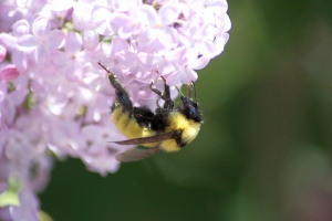 bumblebee on the lilac flowers knows im here 1296