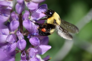 BumbleBee Working on the Lupine Flowers 076