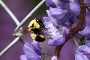 BumbleBee Working on the Lupine Flowers 085