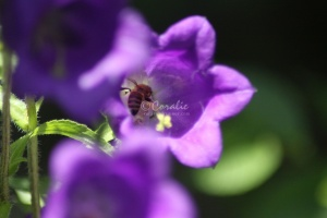 Canterbury Bell Flowers and Honey Bee 104
