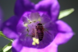 Canterbury Bell Flowers and Honey Bee 140