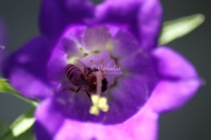 Canterbury Bell Flowers and Honey Bee 149