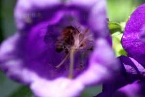 Canterbury Bell Flowers and Honey Bee 160