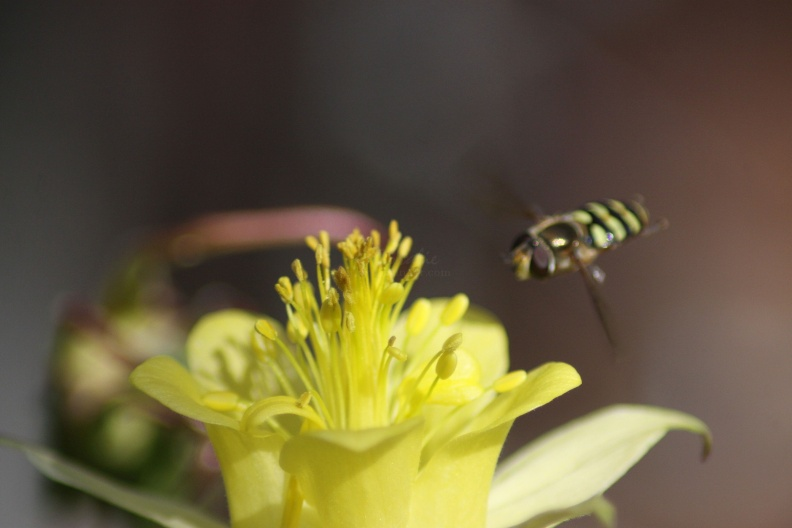 Columbine_Flower_and_the_Hoverfly_872.jpg