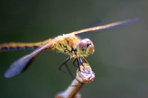 commondragonfly314-16