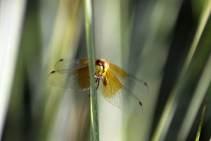 Dragonfly Wings 087