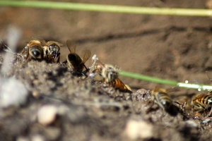 Few of the Honeybees at the Water 1198
