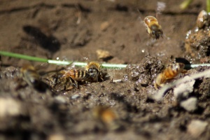 Few of the Honeybees at the Water 1200
