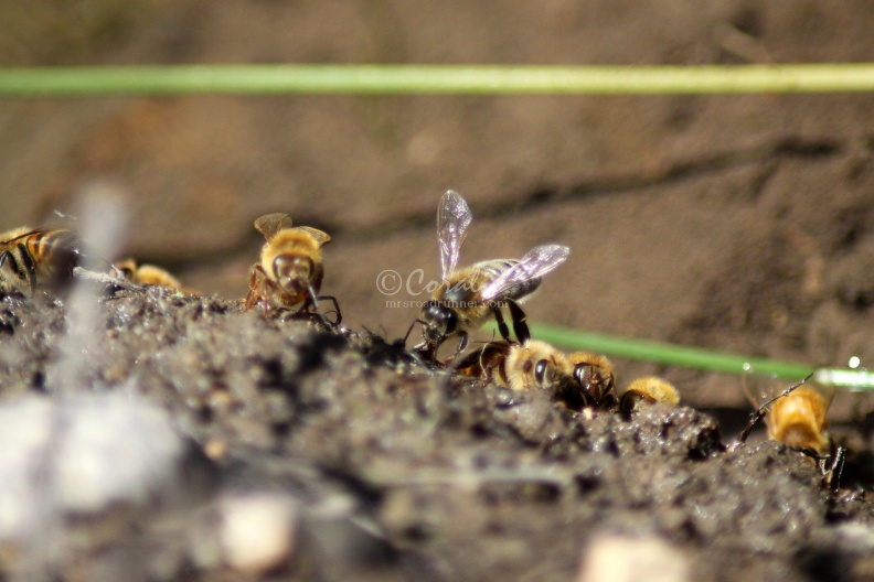 Few_of_the_Honeybees_at_the_Water_1216.jpg