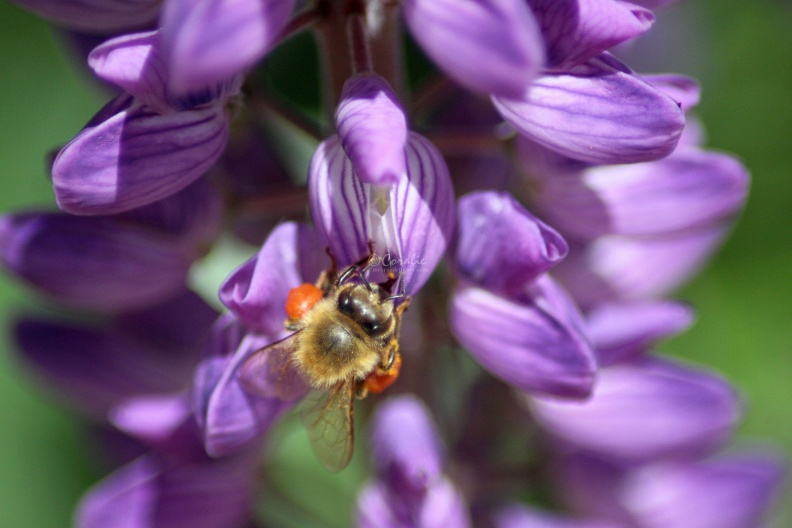 Honeybee_on_the_Lupine_Flower_214.jpg