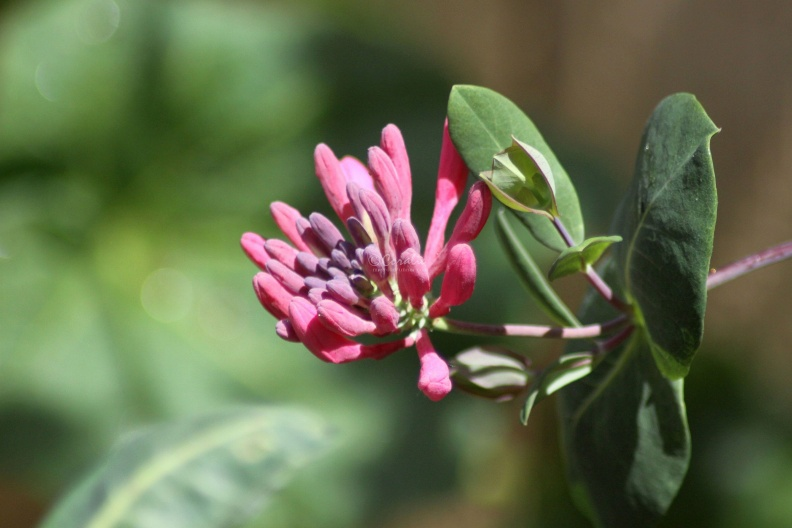 Honeysuckle_Flower_278.jpg