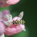 Hoverflie on Pink Lupine Flower 672