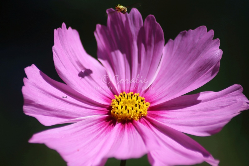 Hoverfly_Shadow_on_a_Cosmos_Flower_Bloom_019_Sample.jpg