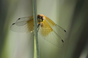 Insect Dragonfly 093