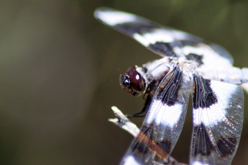 Jefferson_County_Oregon_Dragonfly_Face_658.jpg
