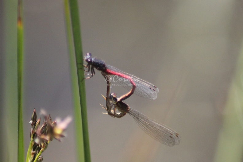 Mating_Dragonflies_296.jpg