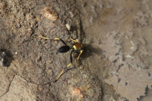 Mud Daubers or Mud Wasp 344
