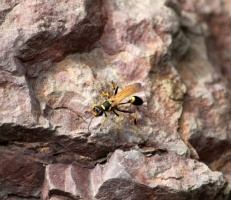 Mud Daubers Or Mud Wasp 534