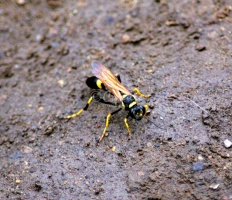 Mud Daubers or Mud Wasp IMG 3884