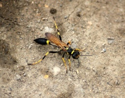 Mud Daubers or Mud Wasp IMG 3892
