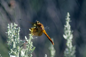 Orange Dragonfly on Sage 082