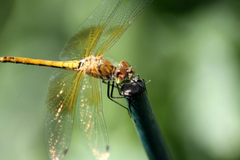 Orange_Dragonfly_Wings_320.jpg